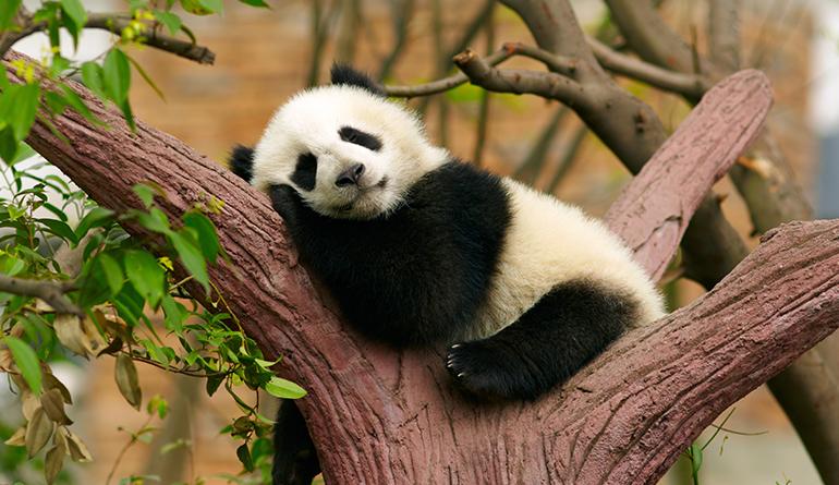 health-benefits-of-sleep-panda-header