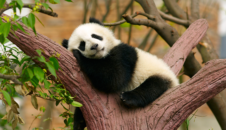 health-benefits-of-sleep-panda-header